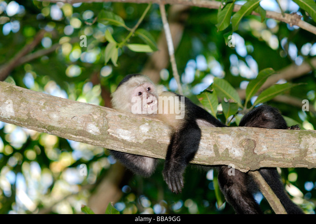 White-faced capuchin monkey, Costa Rica - Stock Image