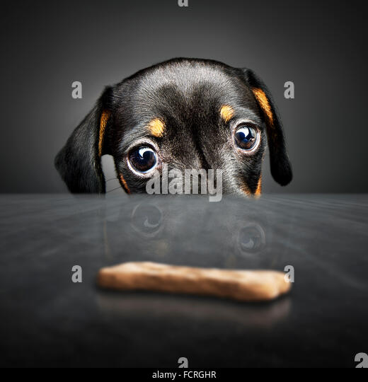 Dachshund puppy looking at a treat (out of reach) over a table - Stock Image