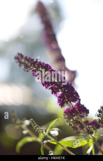 fresh lavender flowers on stem. botany, fragile, leaf, garden. - Stock Image