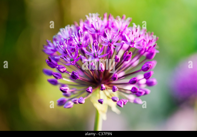 Allium hollandicum Purple Sensation flower. Selective focus - Stock Image