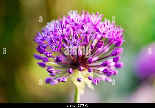 Allium hollandicum Purple Sensation flower. Selective focus - Stock Image