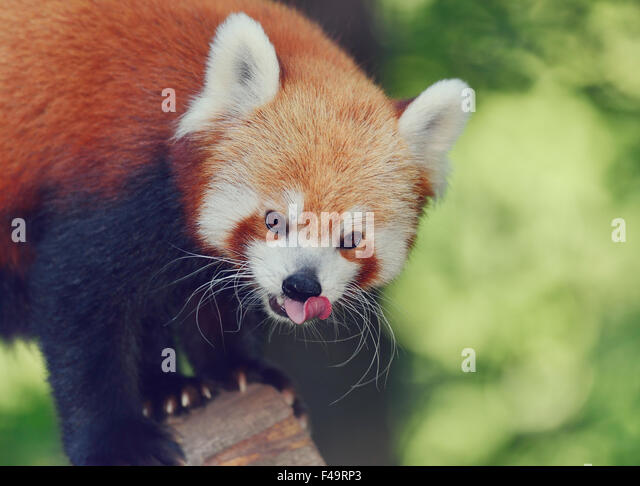 Portrait of Red Panda,Close Up - Stock Image