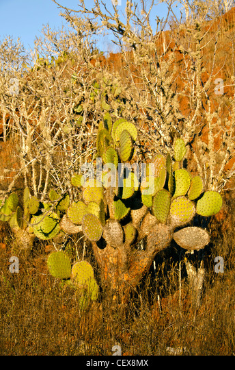 Opuntia prickly pear cactus and leafless palo santo trees, Rabida Island, Galapagos islands, Ecuador - Stock Image
