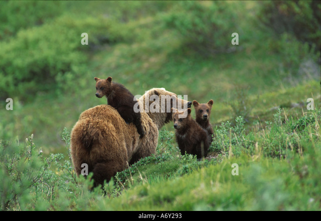 Denali Natl Park Grizzly Bear Sow Cubs Interior Alaska Tundra Summer Green - Stock Image