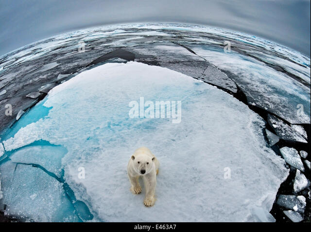Polar Bear (Ursus maritimus) portrait in sea-ice landscape. Wide angle / fish-eye shot. Svalbard, Norway, September. - Stock Image