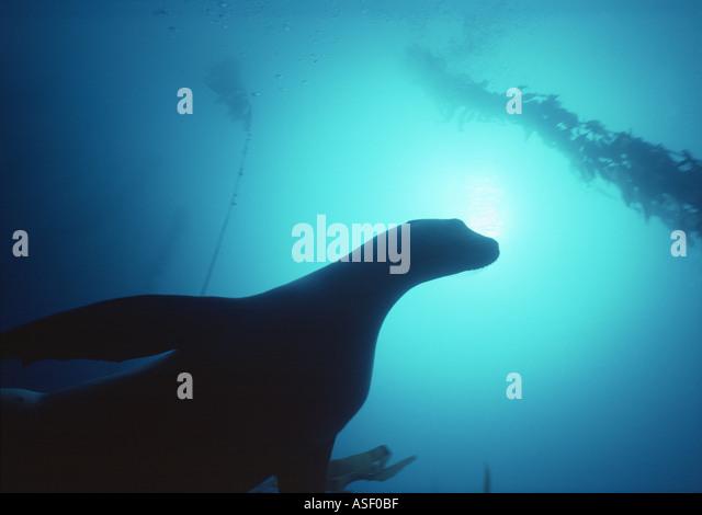 New Zealand sea lion Phocarctos hookeri framed by giant kelp Macrocystis pyrifera Campbell Island New Zealand - Stock Image