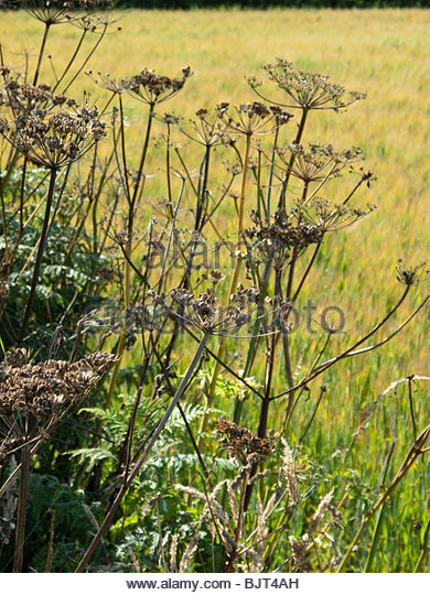 Seedheads of Hogweed at edge of field in late summer - Stock Image