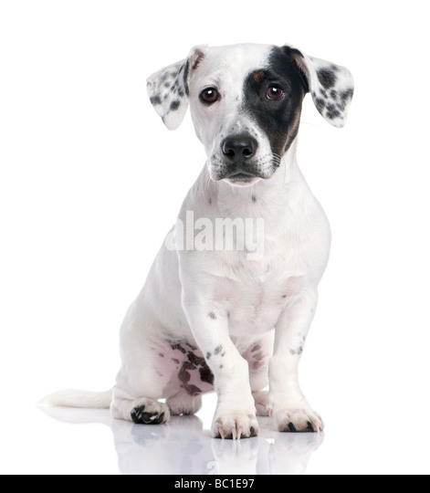 Jack russell puppy isolated and sitting in front of the camera - Stock Image