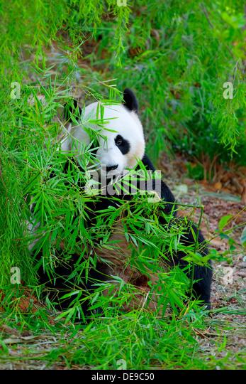 Giant Panda - Stock-Bilder