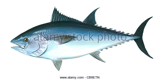 Series fish Groer red Tuna Thunnus thynus fish fish pisces - Stock-Bilder