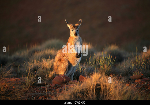 Kangaroo in a forest, Flinders Ranges, South Australia, Australia - Stock Image