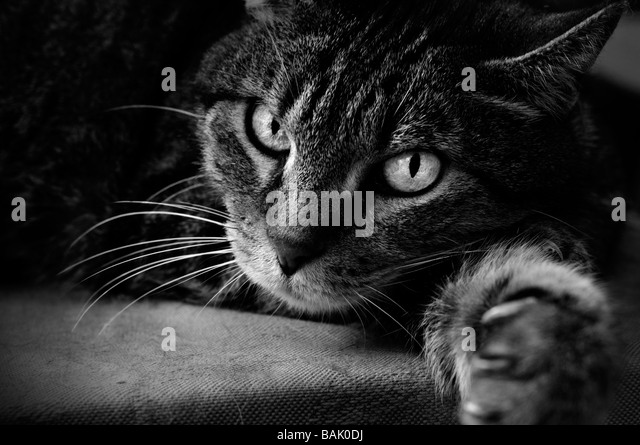 Lying cat - Stock Image
