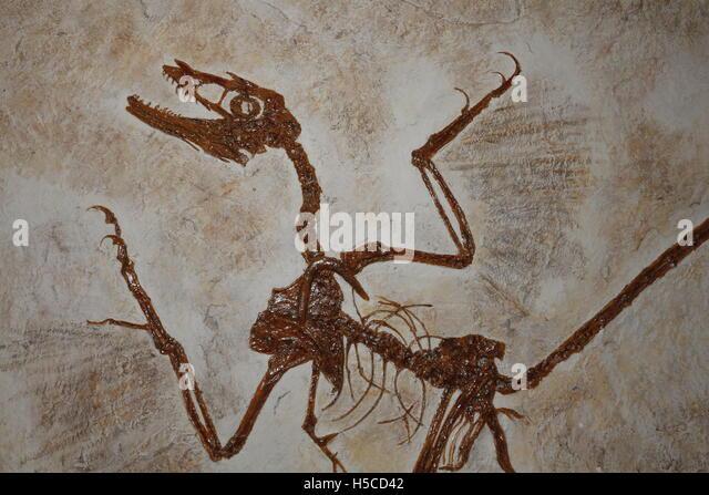 microraptor-fossil-a-feathered-dinosaur-
