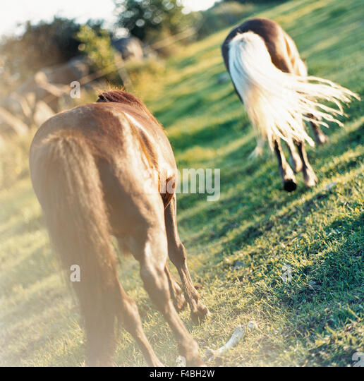 catalogue 2 color image grass horse nature pasture pony rear view square summer Swedish catalogue 4 tail two animals - Stock-Bilder