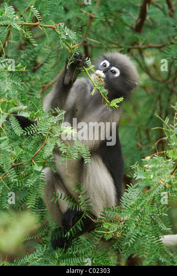 Dusky Leaf Monkey (Trachypithecus obscurus) feeding on Acacia in the rainforest of Khao Sam Roi Yot National Park, - Stock Image