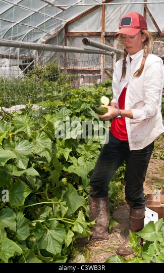 Ripe cucumbers at an Organic Farm in Missoula, Montana are harvested for use in local restaurants. - Stock Image
