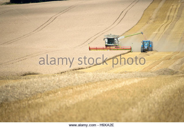 Combine Harvester With Tractor Harvesting Wheat Crop - Stock Image
