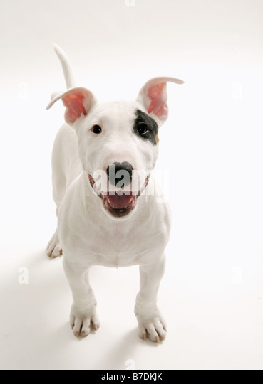 Joyful Bull terrier - Stock Image