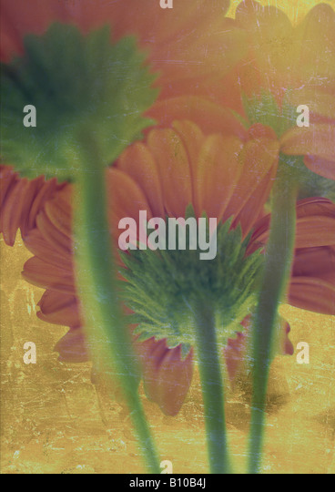 Abstract Photo/illustration of Orange Gerberas - Stock Image