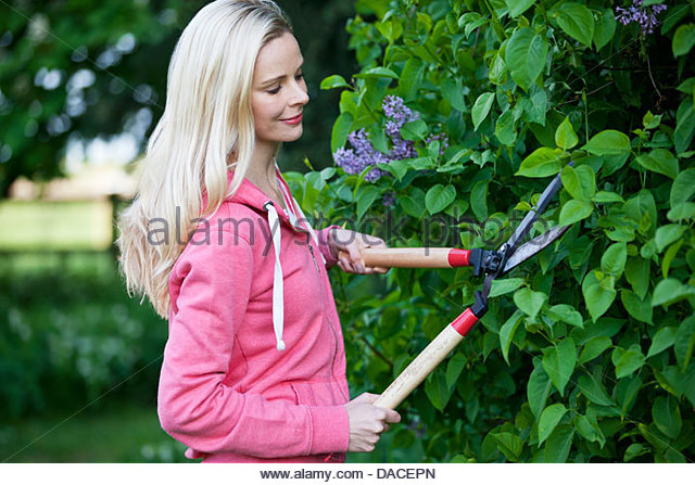 A young woman trimming a hedge with shears - Stock Image
