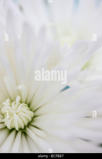 full frame close up of the white long petalled anastasia chrysanthemum fine art photography Jane Ann Butler Photography - Stock Image