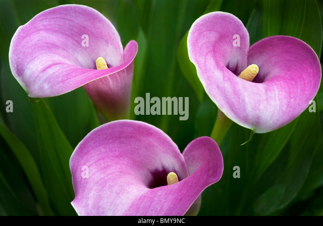 Close up of calla Lily flowers. Oregon - Stock Image