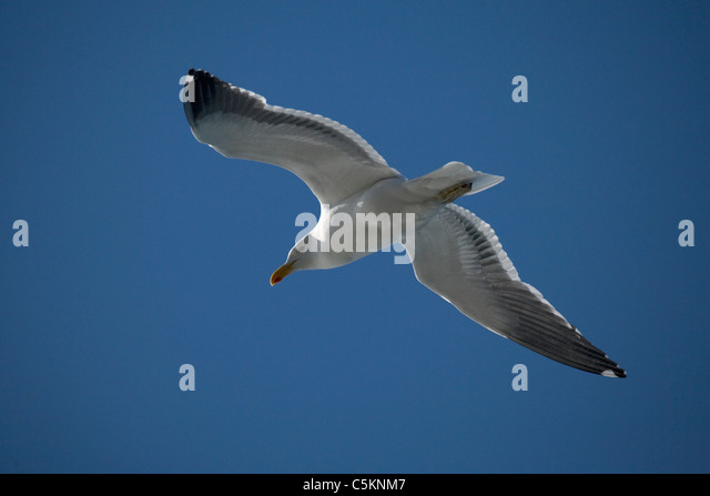 Seagull flying against blue sky - Stock Image