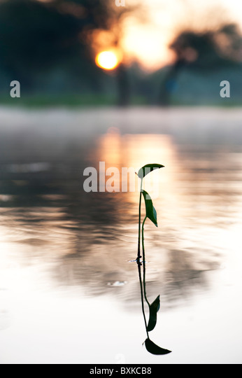 Sagittaria latifolia, Broadleaf arrowhead plant silhouette in a misty lake in the India countryside at sunrise - Stock Image