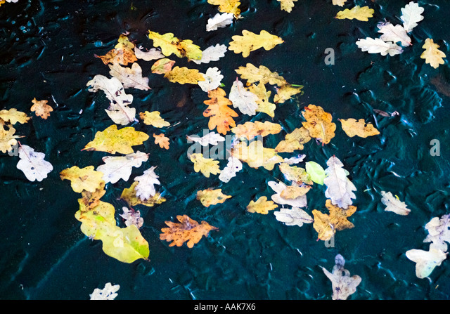 Tree leaves in a frozen water pond - Stock Image