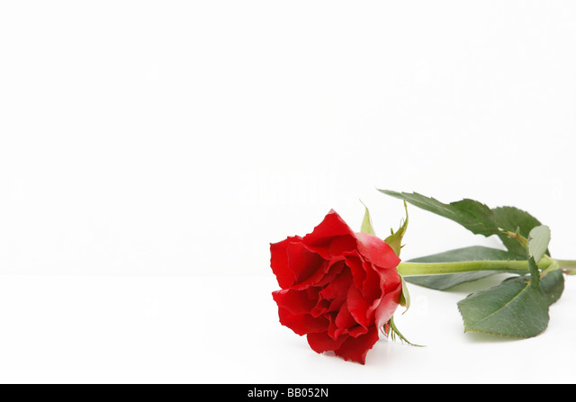 Single red carnation flower isolated (cutout) on white background. May 2009 - Stock Image