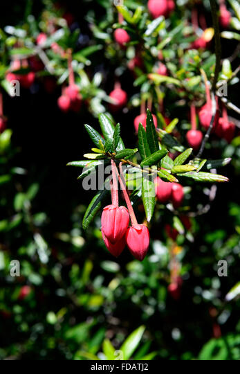 Chinese Lantern Tree Stock Photos & Chinese Lantern Tree ...