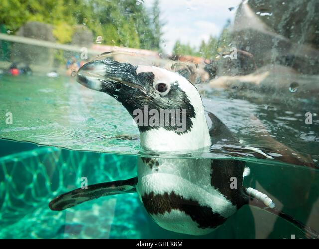 African penguin, in captivity, swimming at the Vancouver Aquarium in Vancouver, British Columbia, Canada. - Stock Image