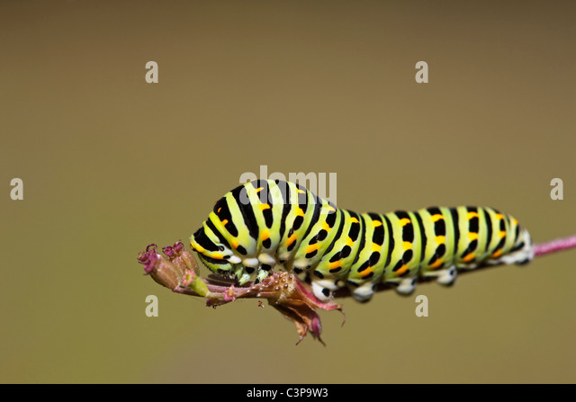 Germany, Bavaria, Caterpillar of the swallowtail butterfly (Papilio machaon) on plant stem, close-up - Stock Image