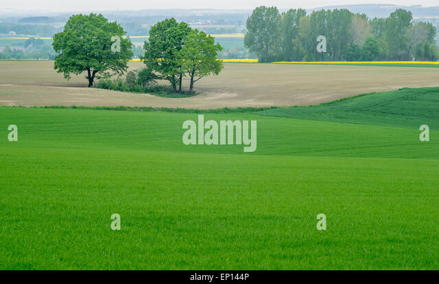 Rising wheat fields Lower Silesia Poland - Stock Image