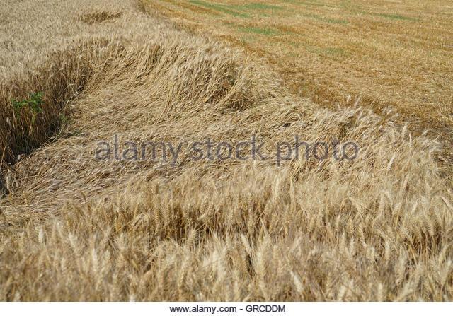 Cornfield With Downcast Cornstalks - Stock Image