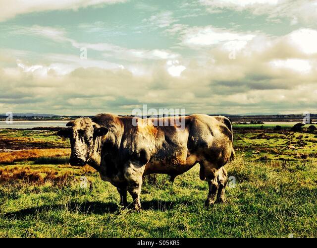 Bull#2 - Stock Image