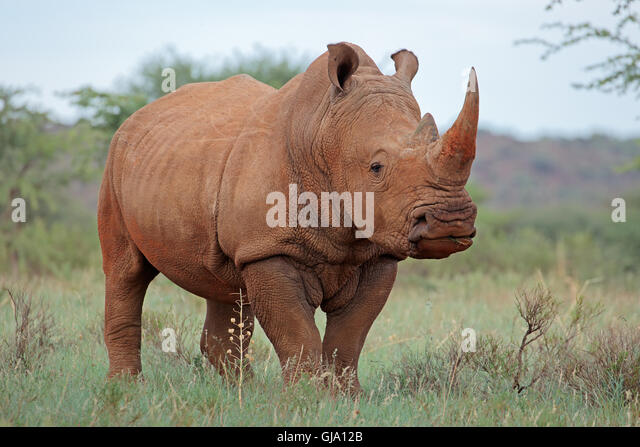 A white rhinoceros (Ceratotherium simum) in natural habitat, South Africa - Stock Image
