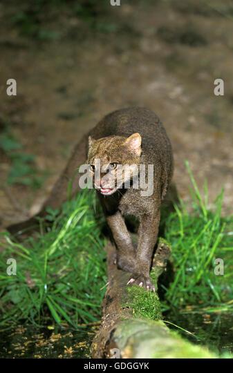 Jaguarundi, herpailurus yaguarondi, Adult - Stock Image