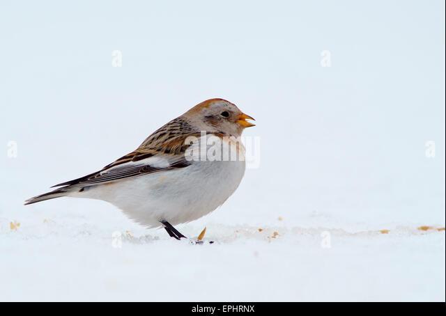 Snow Bunting (Plectrophenax nivalis), females, Kuusamo, Finland - Stock Image