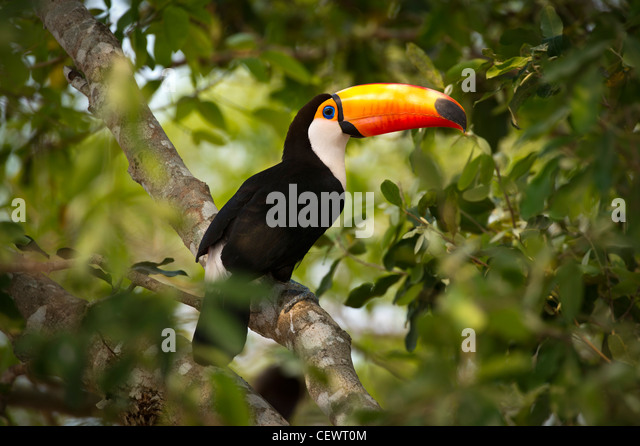 Toco Toucan (Ramphastos toco) in the forest canopy adjacent to the Piquiri River, northern Pantanal, Mato Grosso, - Stock Image