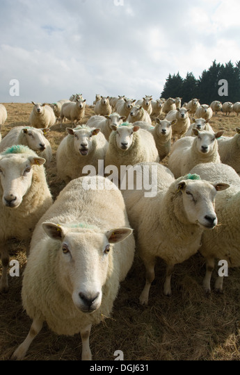 Close up of flock of sheep - Stock Image