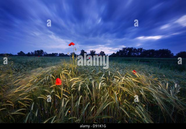 Poppy field - Stock Image