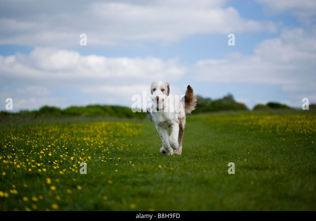 Bearded collie running through a meadow - Stock Image