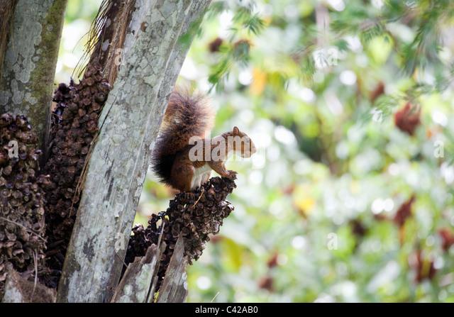 Peru, Cruz de Mayo, Manu National Park, Pantiacolla mountains. Southern Amazon Red Squirrel( Sciurus Spadiceus ). - Stock Image