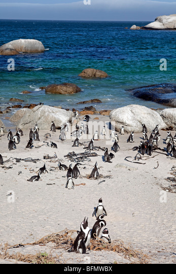 South Africa, Western Cape, Cape Town. Boulders Beach is home to a small colony of African / Jackass Penguins. - Stock Image