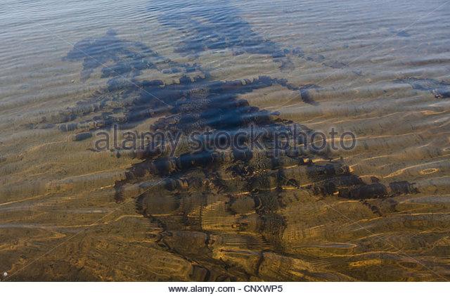 Seaweed in shallow water - Stock-Bilder