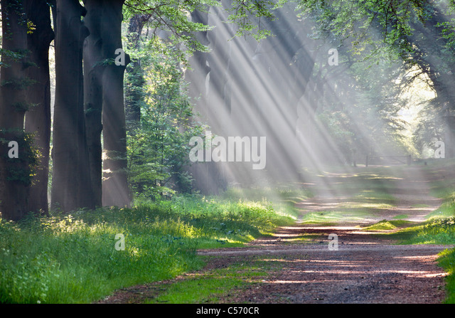The Netherlands, 's-Graveland, Beech forest road. Rural estate called Gooilust. Sunrays in morning mist. - Stock Image
