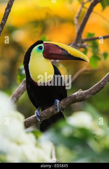 Toucan. Costa Rica. - Stock Image