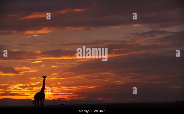 Masai Giraffe (Giraffa camelopardalis tippelskirchi) silhouette in Masai Mara National Park, Kenya - Stock Image