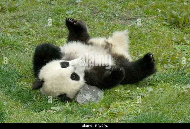 5 month old giant panda cub rolls on ground, Wolong China - Stock Image
